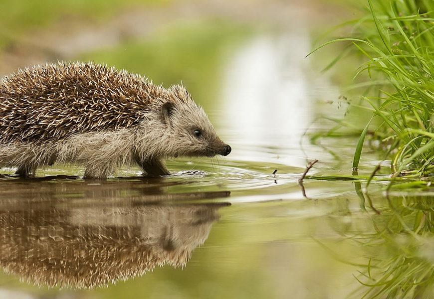 It's Hedgehog Awareness Week!